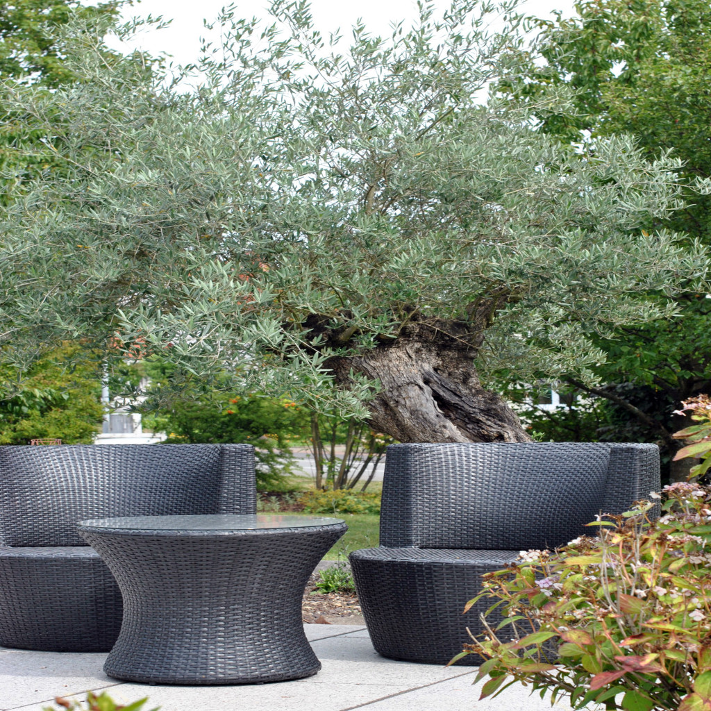 Olivenbaum Sessel