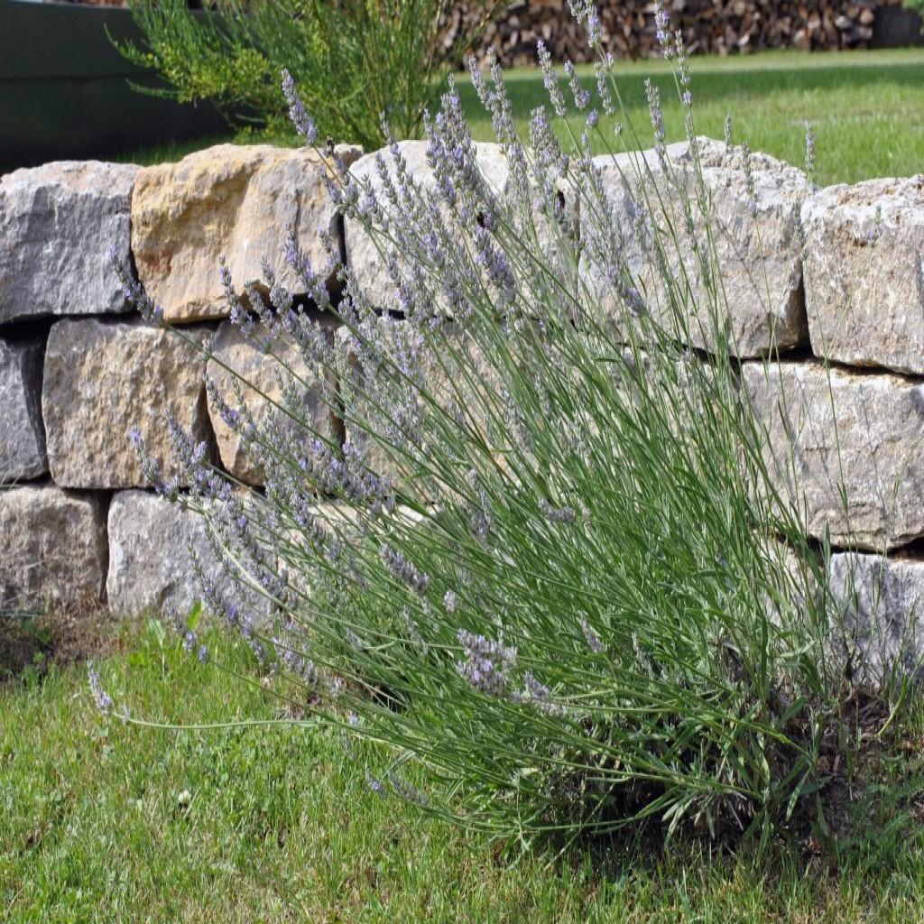 Trockenmauer_Lavendel