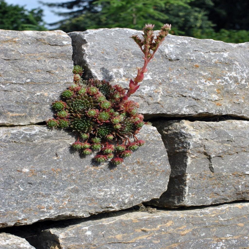 Trockenmauer_Steinpflanze